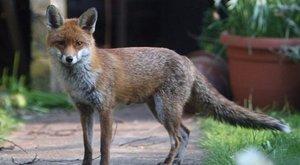 Elképesztő, hogy szedték ki ezt a rókát a Dunából