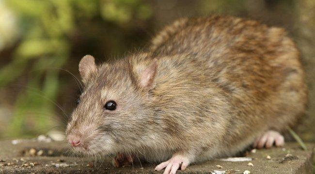 Miért ne lopj rizst? Ez a patkány elárulja!