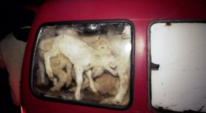 Horror:72 élő bárányt gyömöszölt a kombiba