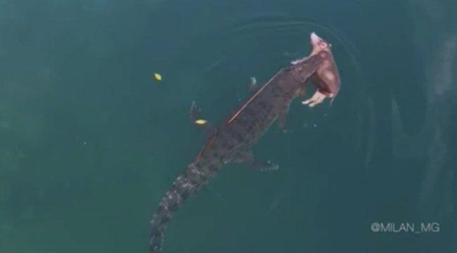 Ilyet még nem látott: disznót zsákmányolt a tengerben a krokodil