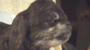 Kitömött kutyát akar eladni egy miskolci hirdető