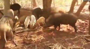 Kegyetlen bosszú: sok disznó óriáskígyót győz - videó