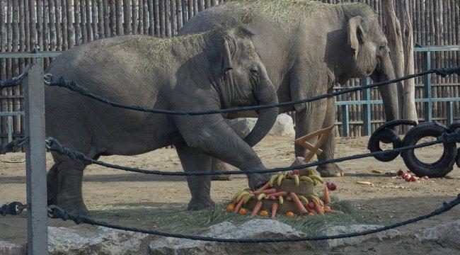 """Felrúgta születésnapi tortáját a budapesti állatkert 4 éves """"kiselefántja"""" – képek"""