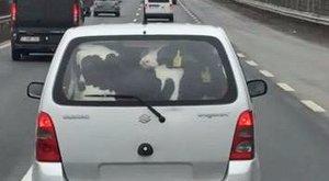 Állatkínzás az M7-en: két bocit szállított a Suzukiban