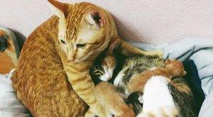 Épp ez a gondoskodó macska a net kedvence - fotók
