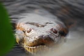 Kíváncsiságból boncolták fel a kígyót: nem hitték el, mit rejtett a gyomra