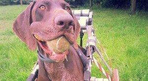Kutyakocsival száguld a lebénult Vajda