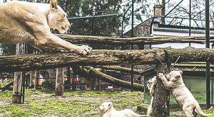 Cuki: így tanítja kölykeit a nyíregyházi oroszlánmama