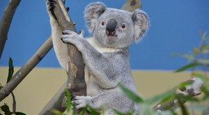 Felfüggesztettéka látogatást: nem javul a Fővárosi Állatkert koalájának állapota