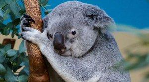 Kézből etetik a budapesti állatkert rákos koaláját