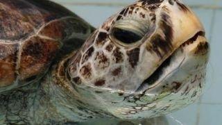 Elpusztult a pénzérméket evő teknős