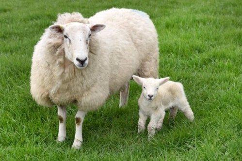 Kicsit több lába van az újszülött báránynak mint kellene – elég vicces nevet kapott
