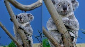 Idén már nem lesz új koalája a fővárosi állatkertnek