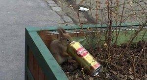 Budapestensörözött a vörös mókus