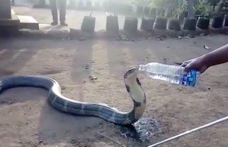 Szomjas volt a kobra, ezért inni kért! Kapott!