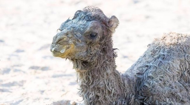 El fog olvadni! Irtó cuki a hétvégén született veszprémi tevecsikó - fotók