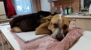 Horror: még több baja van Fülöpnek, a megkínzott kutyának, mint eddig gondolták