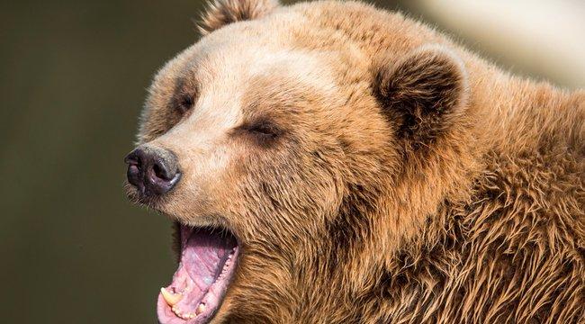 Medve támadt az udvaron játszó kislányra