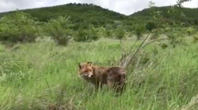 Visszakerült az erdőbe a győri tetőn talált beteg róka, Patrik – videó