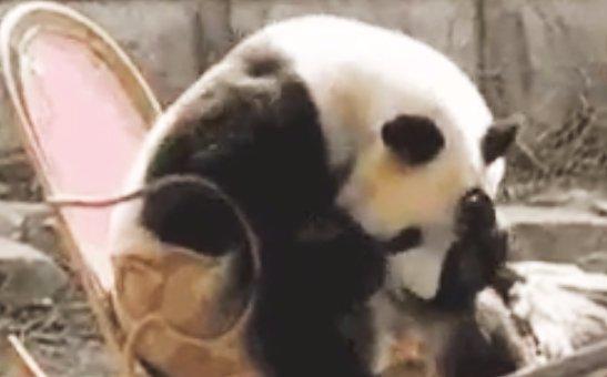 Péntek van: nézegessen hintaszékben pihenő pandát!