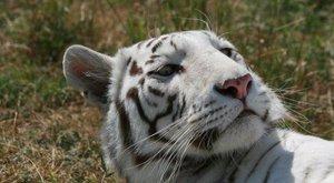 Megölte gondozóját egy állatkerti tigris Angliában