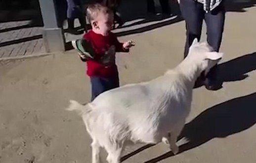 Majdnem halálra rémített egy kisfiút a kecske