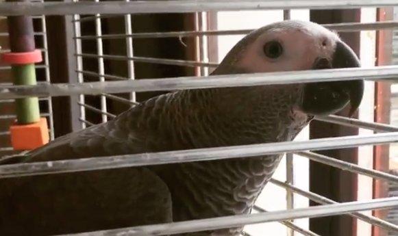 Dráma: Vajna Timi papagája önmaga ellen fordult