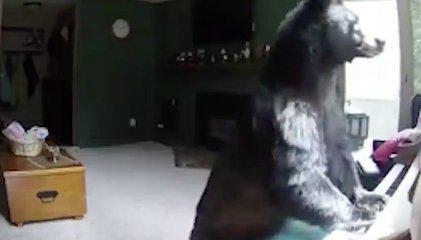 Ez a medve betört egy házba és zongorázni kezdett
