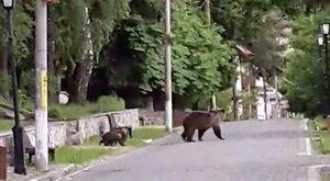 Medvék terrorizálják a várost