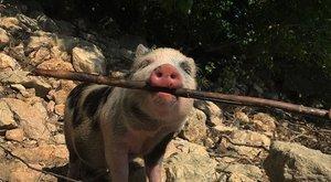 Szünet nélkül malackodik az interneten Rupert - fotók, videók