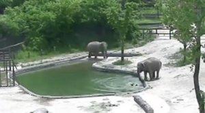 Pánik az állatkertben: beesett a medencébe az elefántborjú – társai mentették ki