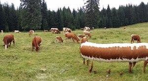 Kanyarodó tehenet fotóztak az alpesi mezőn – fotók