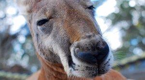 Undorító, de szerintük vicces, amit a megölt kenguruval tettek