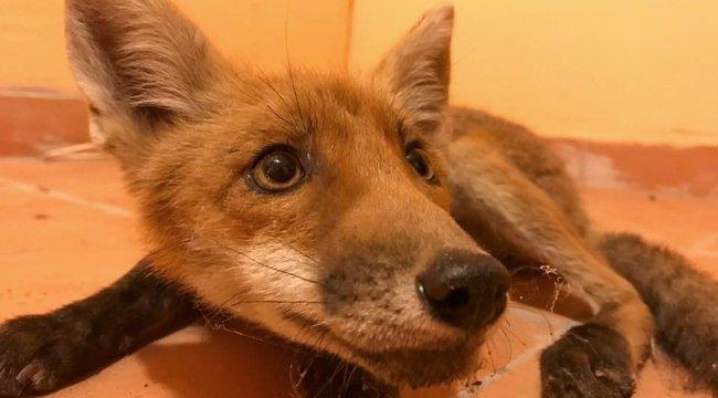 Gyógyulni akar Zoli, a kis rókakölyök