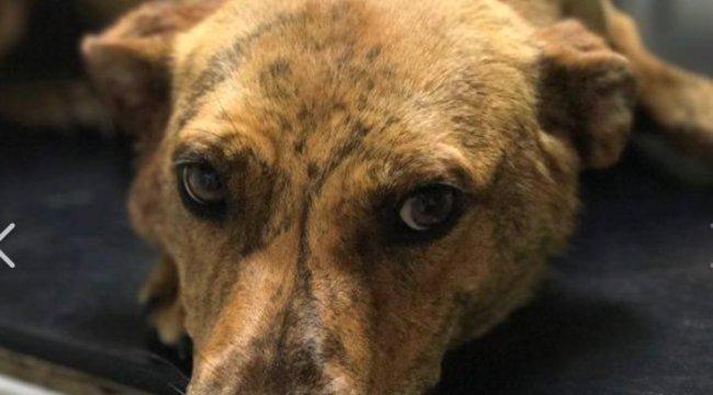 Újabb elvágott nyakú kutyát találtak