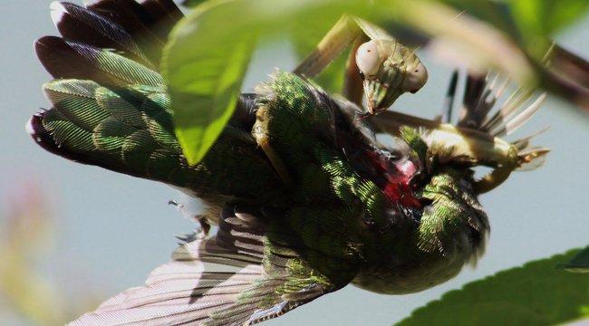 Agyevő sáskák tartják rettegésben a madarakat