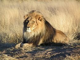 Lelőtték a szökött oroszlánt, mielőtt rászokott volna a marhahúsra