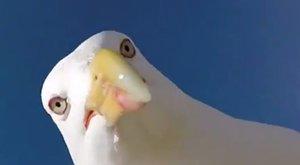 Elnézést kért a posta, amiért nem kézbesít az agresszív madarak miatt
