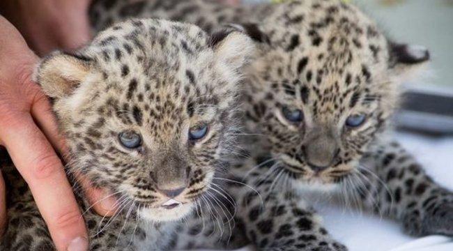 Leopárd ikrek születtek a Nyíregyházi Állatparkban