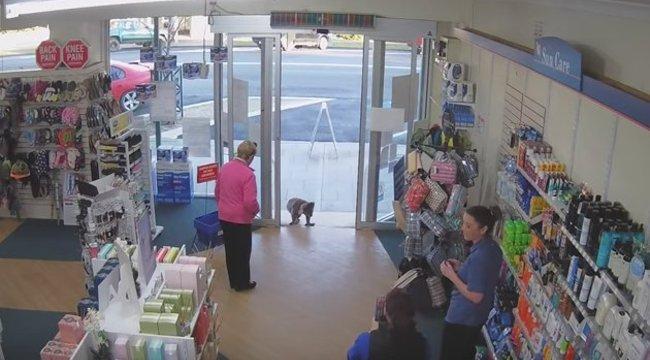Egy kíváncsi koala beugrott a gyógyszertárba nézelődni – videó