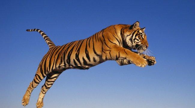 Átugrott a szomszédhoz egy fogságban élő bengáli tigris