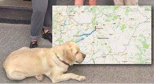 Veszprémből vonatozott fel Budapestre az elkóborolt labrador