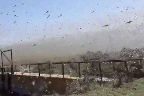 Pokoli sáskasereggel szállt harcba egy halász – videó