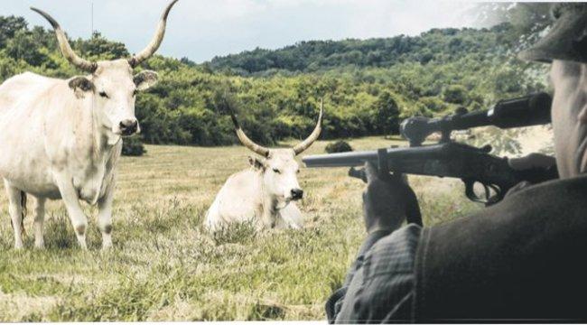 Egy szürke marhát terített le a tolvaj vadász