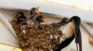 Börtönt kaphat a fészek leveréséért a tatabányai nő