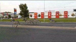 Zebrák vágtattak a soproni autók közt