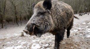 Jó hír: nem radioaktív a magyar vaddisznó