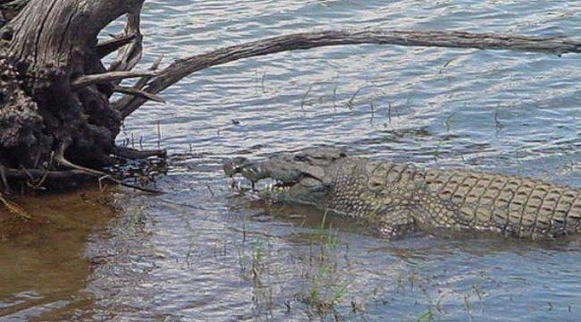 Egy krokodil gyomrában találták meg a napok óta keresett asszonyt