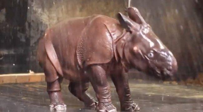 Napi cuki: először pancsizik az orrszarvúbébi - videó
