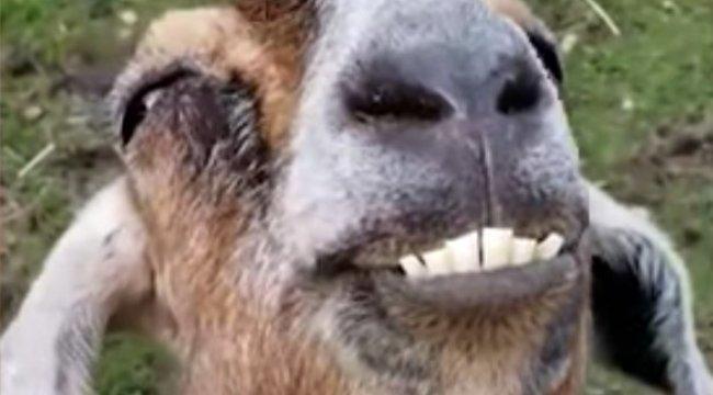 A halál kapujából tért vissza, ma ő az egyik legboldogabb kecske – videó